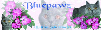 Bluepawz British Shorthairs