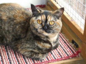 Moormist Tigers Eye (Minnie) has now been spayed